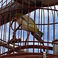 20131124 草屯植物公園小鳥唱歌比賽 (3).jpg