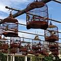 20131124 草屯植物公園小鳥唱歌比賽 (12).jpg