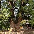 樟樹公巨木 (1).JPG