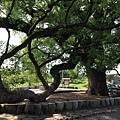 樟樹公巨木 (4).JPG