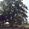 樟樹公巨木 (6).JPG