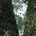 樟樹公巨木 (7).JPG