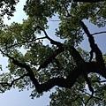 樟樹公巨木 (8).JPG