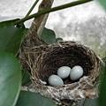 綠繡眼鳥蛋.jpg