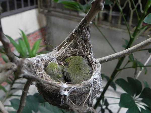 綠繡眼雛鳥 (5).jpg