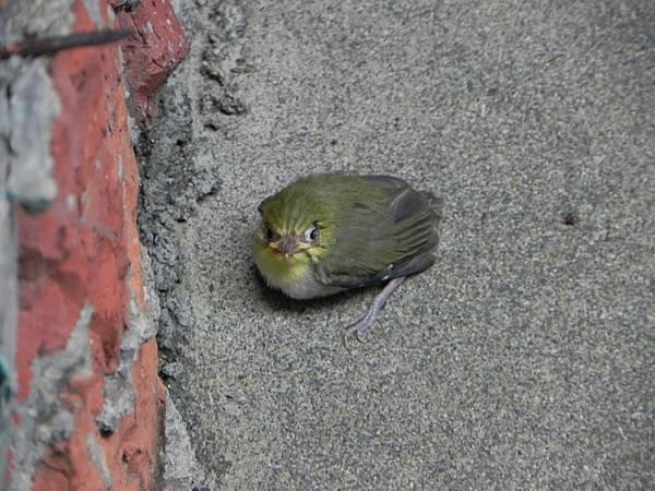 綠繡眼雛鳥 (4).jpg