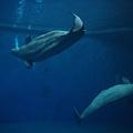 墾丁親子遊  屏東海生館 小白鯨