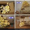 2012 在家種香菇 就是菇黃金菇 (11)