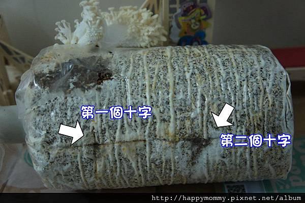 2012 在家種香菇 就是菇黃金菇 (13)