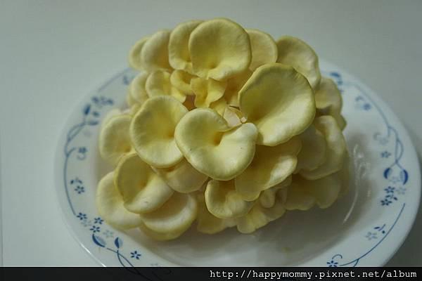 2012 在家種香菇 就是菇黃金菇 (26)
