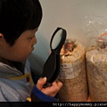 2013 在家種香菇豐年農場 玫瑰菇 (3)