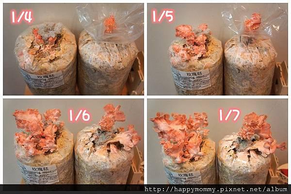 2013 在家種香菇豐年農場 玫瑰菇 (4)