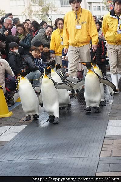 2012.12.22 大阪周遊卡 遊大阪海遊館國王企鵝遊行