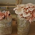 2013 種菇菇 玫瑰菇 (3)