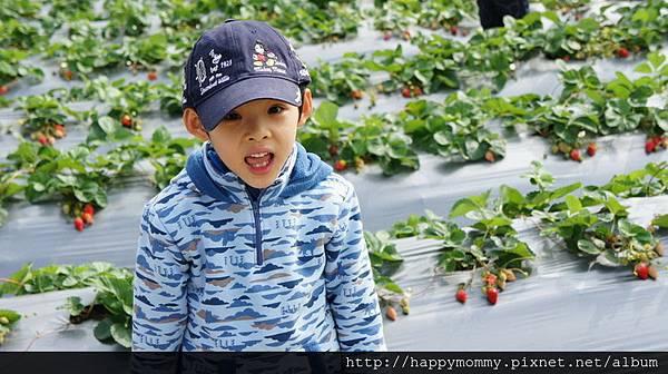 2013.12.28 大班班遊 苗栗採草莓 巧克力雲莊 草莓文化館 (6).JPG