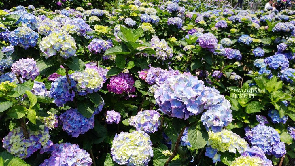 2019.05.21 陽明山竹子湖大賞園繡球花季 (6).jpg