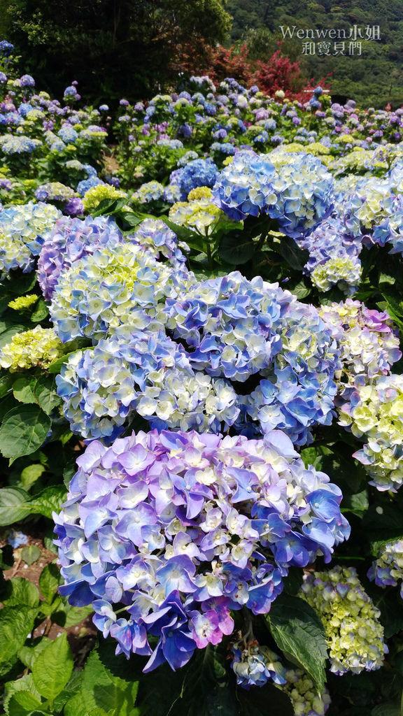 2019.05.21 陽明山竹子湖大賞園繡球花季 (8).jpg