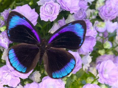 darrell-gulin-blue-and-black-butterfly-on-lavender-flowers-sammamish-washington-usa.jpg