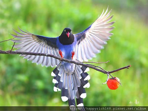 台灣藍鵲.jpg