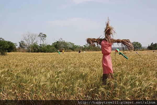 小麥是高粱酒的主原料之一