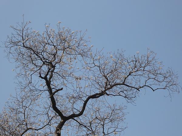 P1070963  枝頭上白色小花和枝條曲折的樣子, 好美.JPG