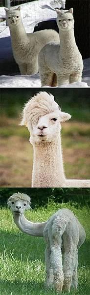 羊駝.jpg