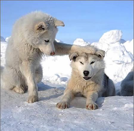 好可愛的狼.jpg