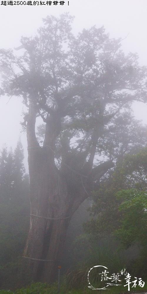 白嶺巨木.jpg
