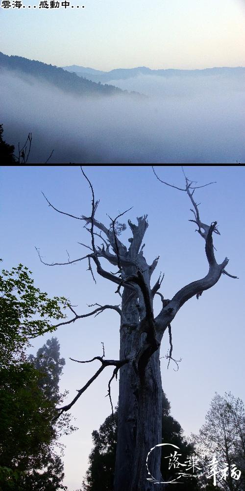 白嶺巨木(2).jpg