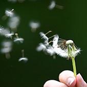 dandelion_seeds_being_blown.jpg
