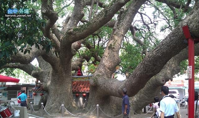 后里大榕樹