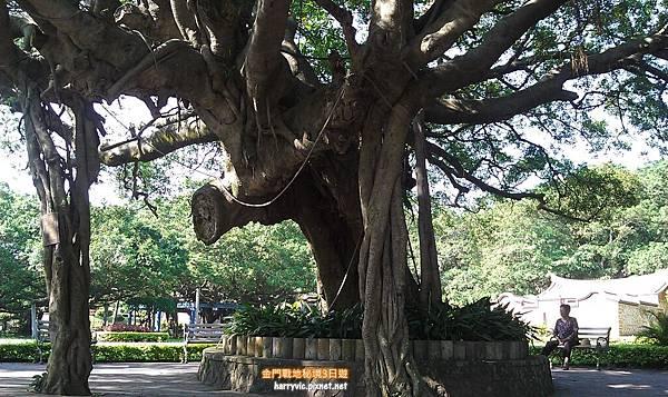 榕園內的樹