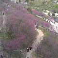 大坑櫻花林