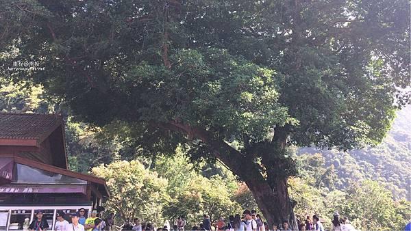 車程-老榕樹