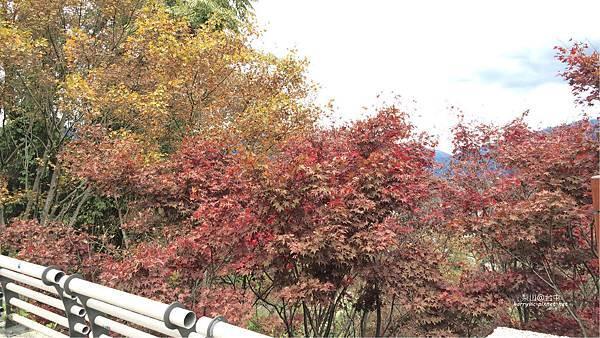梨山-楓葉