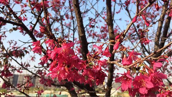 太平麗園公園-櫻花1