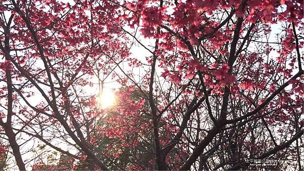 太平麗園公園-櫻花4