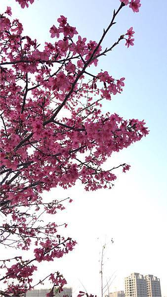 太平麗園公園-櫻花5
