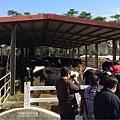 花蓮-瑞穗牧場一群乳牛
