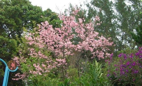 居然有一棵櫻花樹