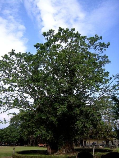 一棵大~樹