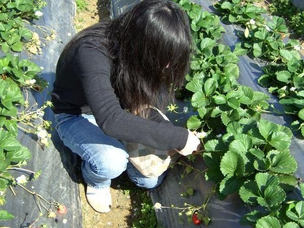 伊莉採草莓