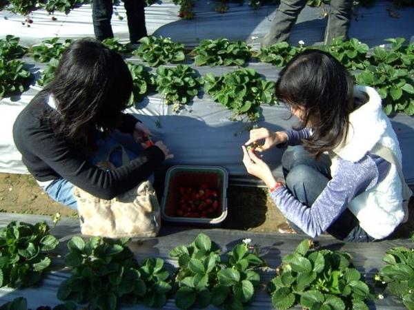 幫草莓修剪