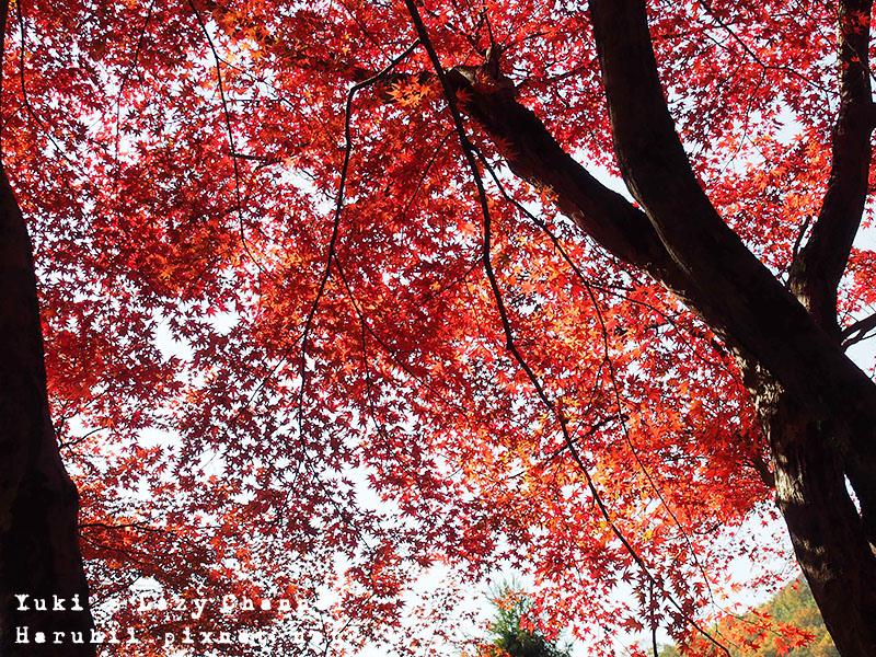 京都長岡光明寺賞楓27