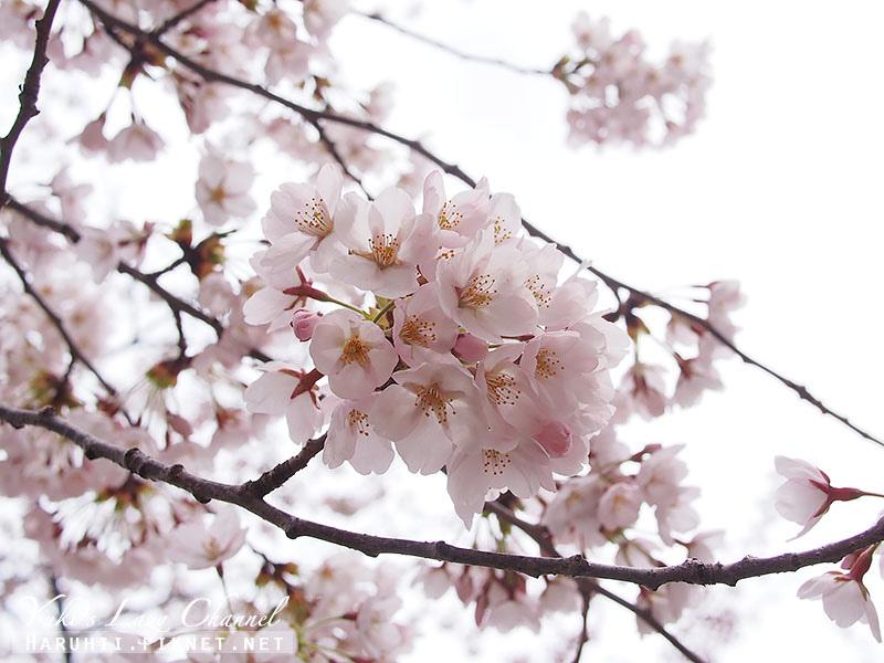 盛岡高松公園賞櫻6