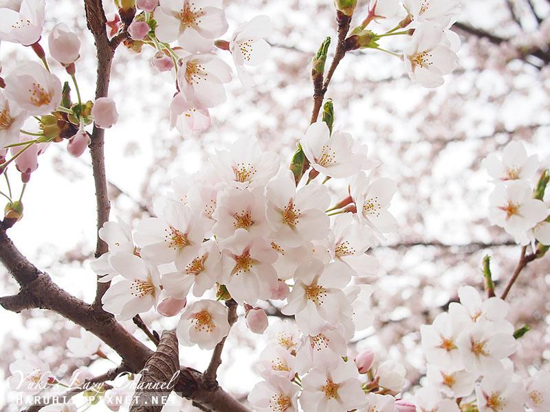 盛岡高松公園賞櫻22