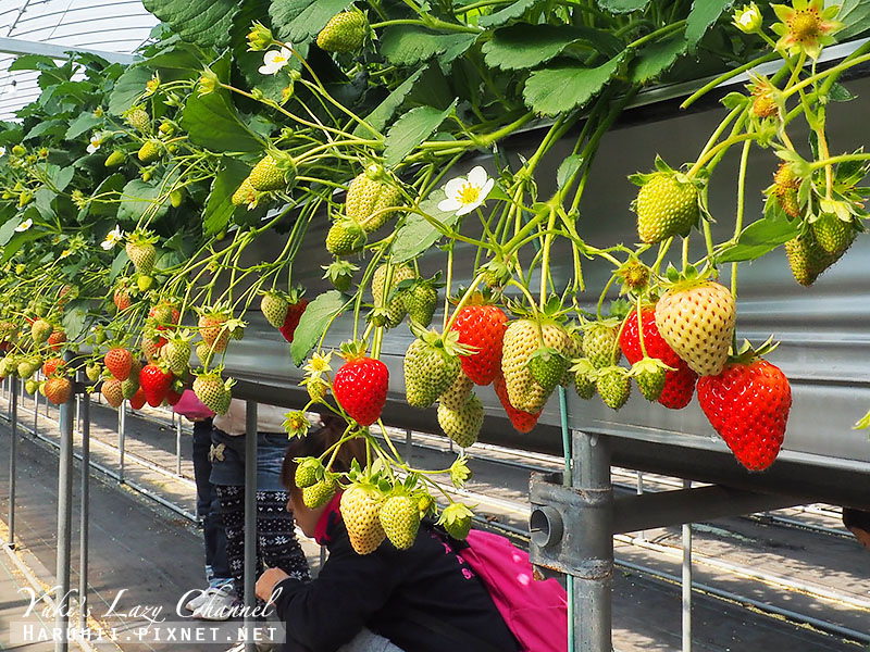 德島採草莓吃到飽10.jpg