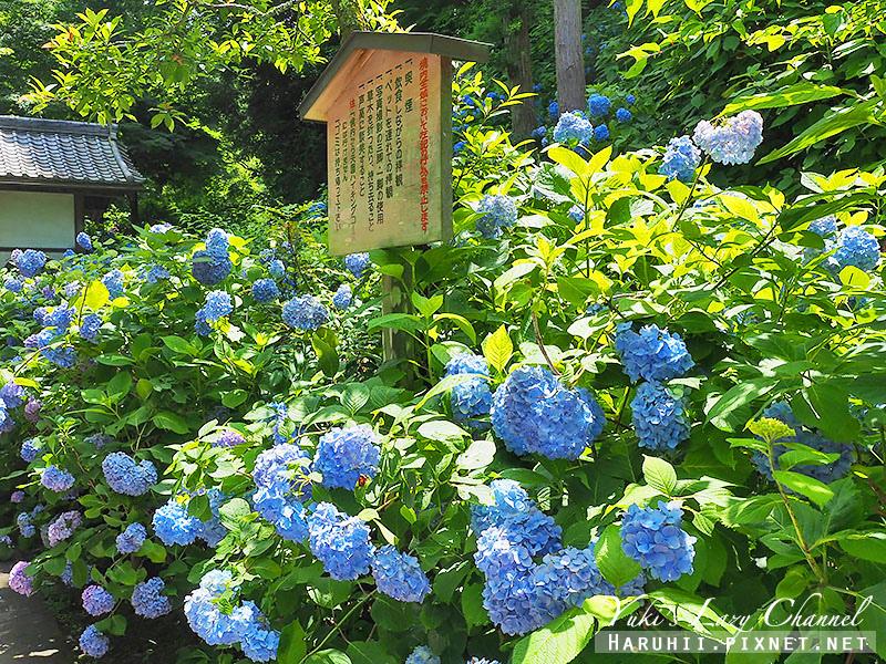 鐮倉明月院繡球花1.jpg