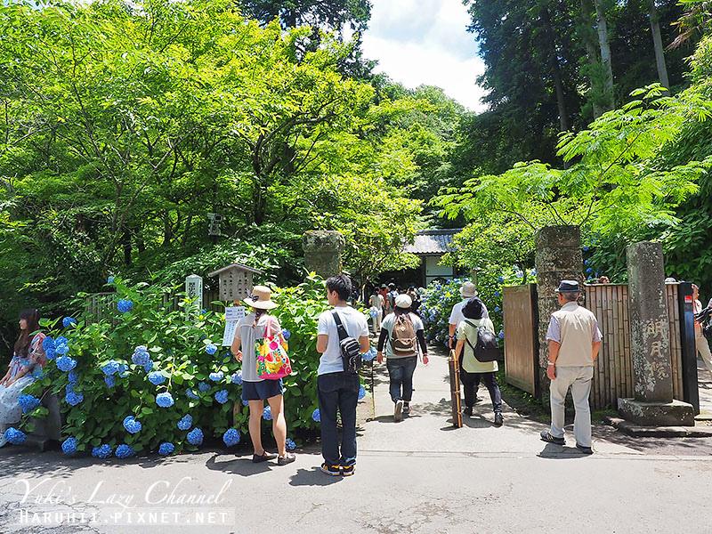 鐮倉明月院繡球花.jpg