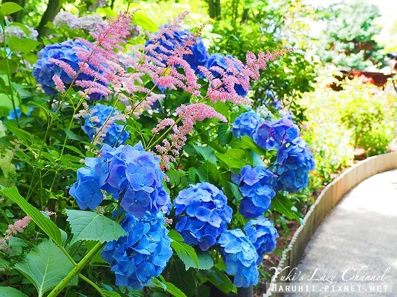 鐮倉明月院繡球花2.jpg